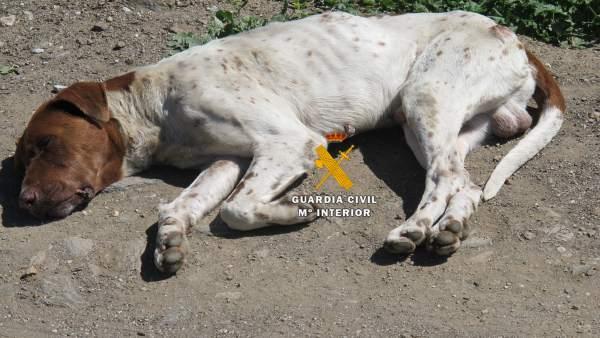 Perro maltratado, operación de la Guardia Civil