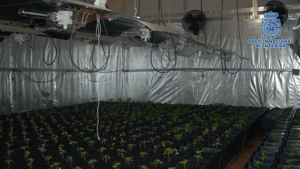 Organización criminal que exportaba marihuana