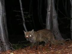 La actividad humana hace que los mamíferos sean cada vez más nocturnos