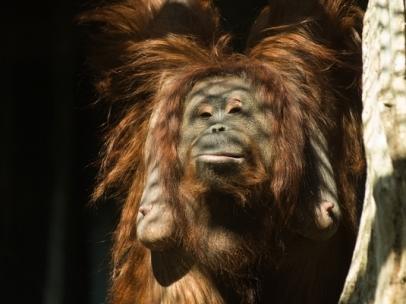 Hembra de orangután