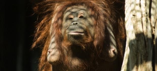 Muere a los 62 años Puan, el orangután más viejo del mundo en cautividad