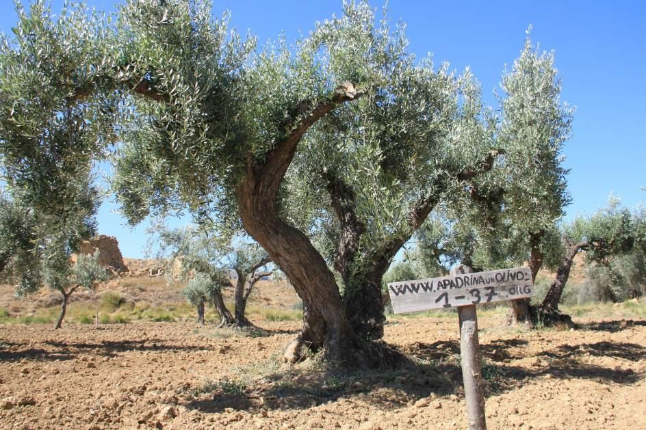 Olivos recuperados en Oliete (Teruel)