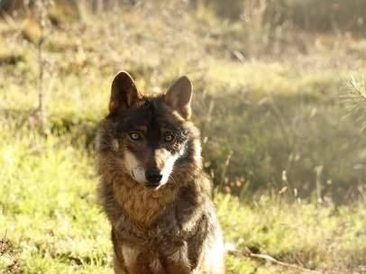 Un lobo ibérico fotografiado en condiciones de semilibertad