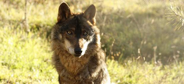 Un lobo ibérico fotografiado en condiciones de semi-libertad
