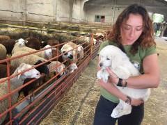 'Pastando con lobos', un proyecto que demuestra que la coexistencia entre el ganado y el lobo es posible con mastines