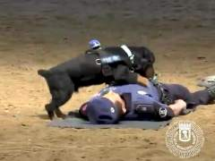 Poncho, el perro policía que se ha hecho famoso por 'salvarle la vida' a un agente