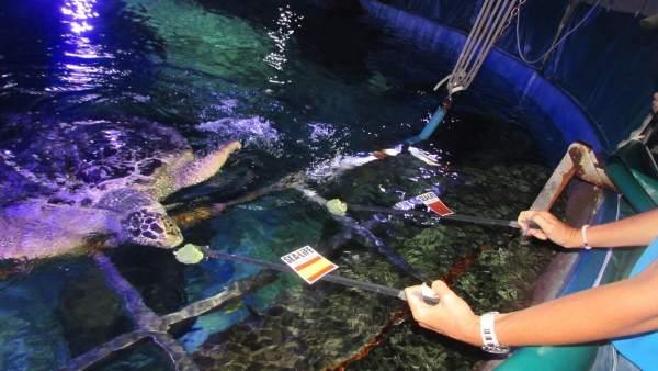Tortuga Yellow sea life predice victoria de España ante Marruecos mundial Rusia