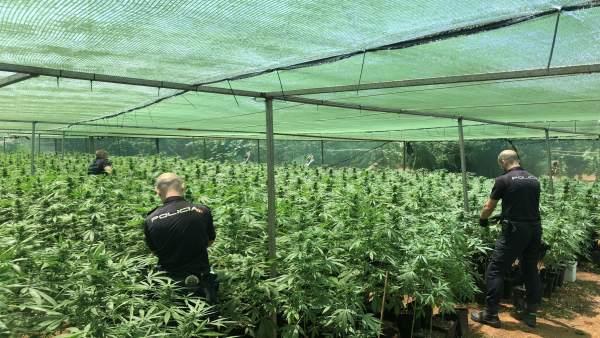 Desmantellada a Alzira una macroplantació de marihuana amb 6.750 plantes
