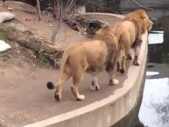 Dos leones pasean en un zoo