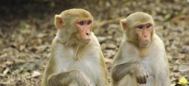 Un mono roba y mata a un bebé recién nacido en India