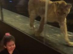 Indignación y miles de firmas para sacar a esta leona de la vitrina de un restaurante