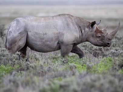 Rinoceronte negro en Gemsbokvlakte