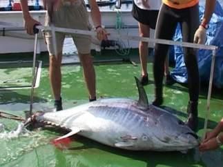 Medida de un atún rojo