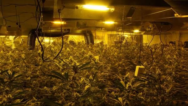 Detenidos cuatro miembros de un grupo criminal con 900 plantas de marihuana