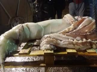 Calamar gigante capturado en las costas asturianas