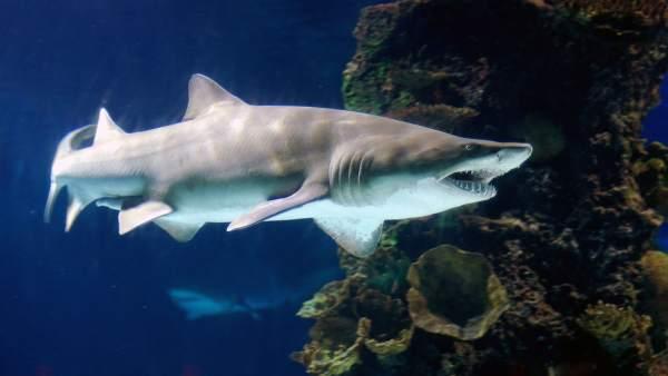 Tiburón toro