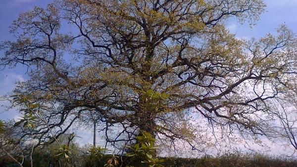 Roble, árbol, primavera