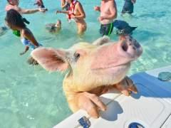 Cerdos nadadores