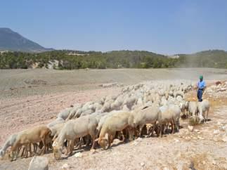 Un pastor con ovejas en Almería