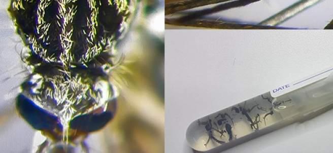 El Mosquito Aedes-japonicus llega a España.