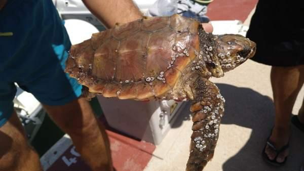 La tortuga boba localizada