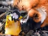 Lemur comiendo helado
