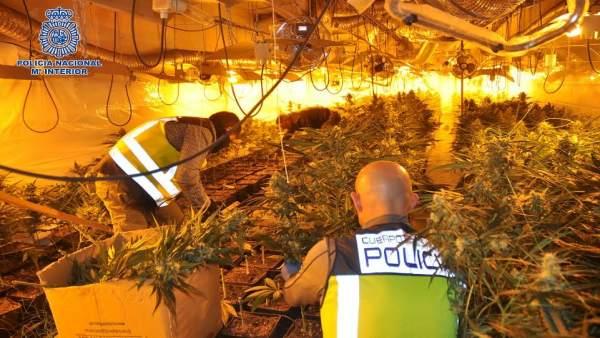 Desmantalada plantación de marihuana