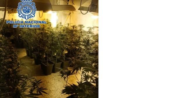 Plantación de marihuana desmantelada
