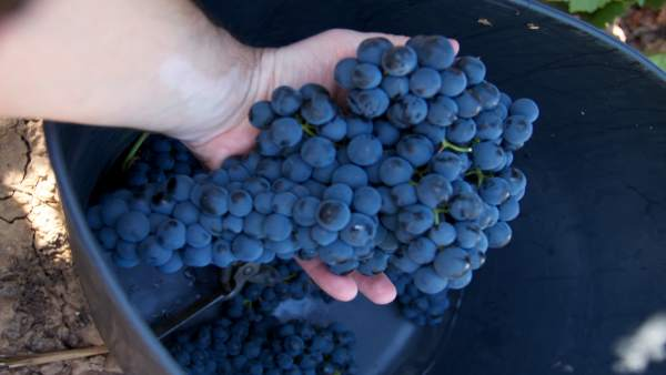 Vendimia, uva