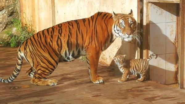 Tigre nacido en Cabárceno