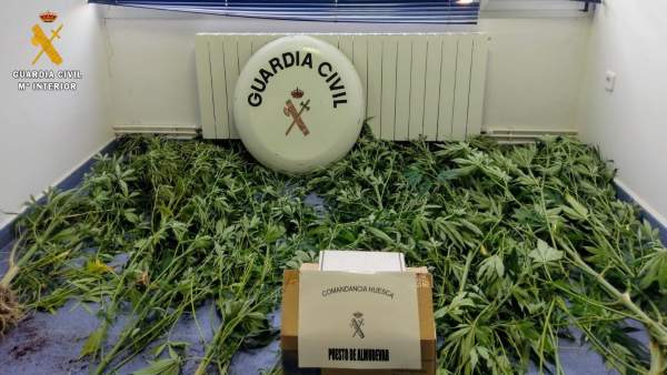 Plantación de marihuana en una localidad de la Comarca de la Hoya de Huesca.