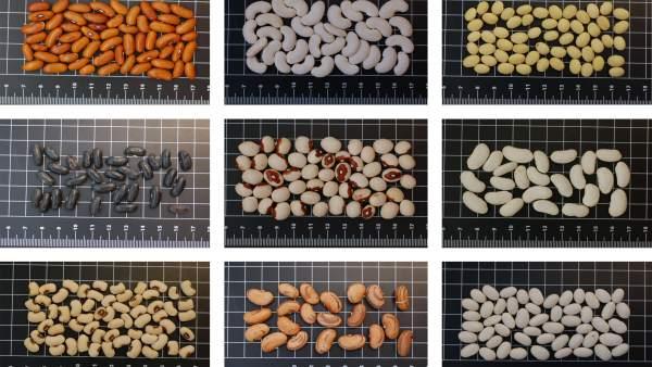 El CITA conserva 27 variedades de judías del Somontano.