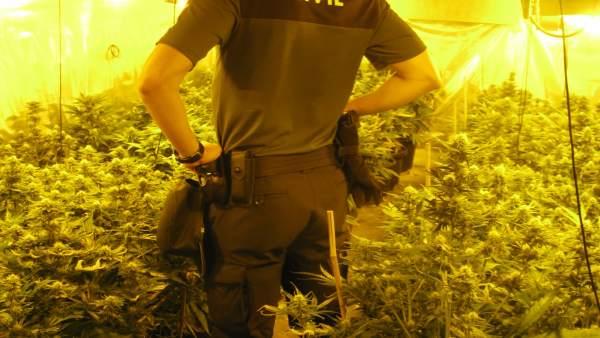 Plantación de marihuana hallada por agentes de la Benemérita en el Viso