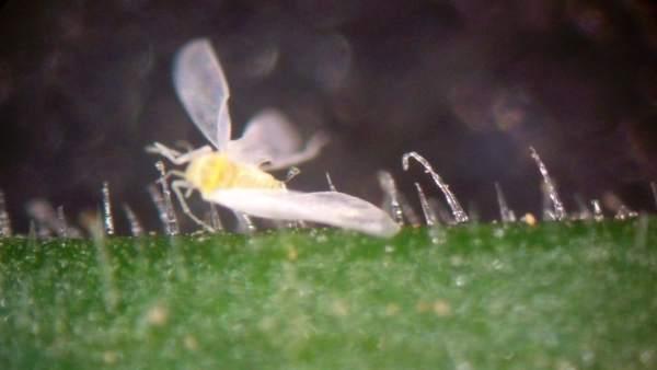 La calabaza, 'planta trampa' de la mosca blanca