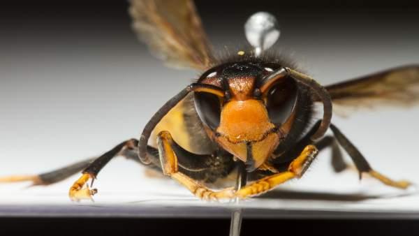 La avispa invasora 'vespa velutina'