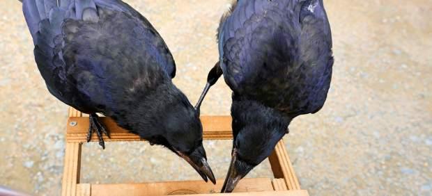 Un parque temático francés emplea cuervos para recoger basura del suelo