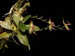 Descubren en Perú una nueva orquídea