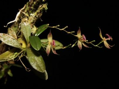 Perú anuncia el descubrimiento de nueva orquídea en la selva central del país