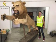 Incautan un león disecado en Barcelona que estaba a la venta en un portal de internet por casi 6.000 euros
