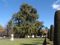 El 'abuelo' de los árboles de Madrid vive en El Retiro: tiene unos 300 años