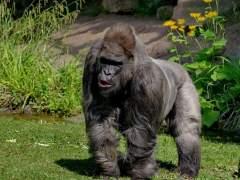 Muere el gorila más viejo de Europa a los 55 años