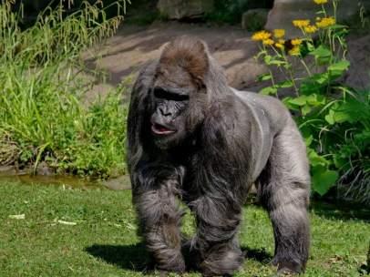 Muere Fritz, el gorila más viejo de Europa
