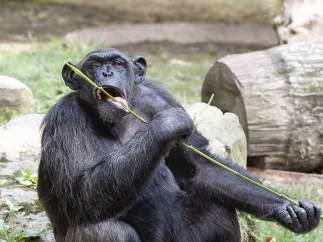 Chimpancé en el Zoo de Barcelona