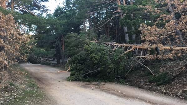 Las lluvias y las nevadas han causado daños en los árboles en Orihuela