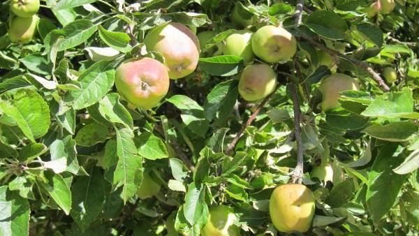 Manzano, Fruta, Frutales