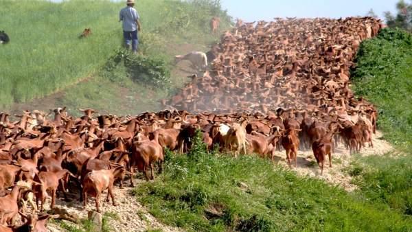 CABRAMA cabras pastores Málaga Casabermeja