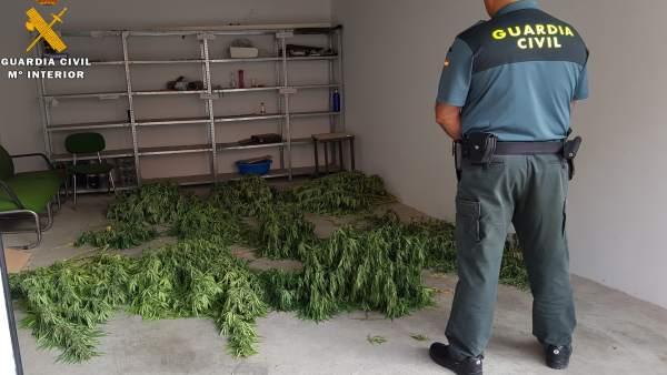 Marihuana intervenida