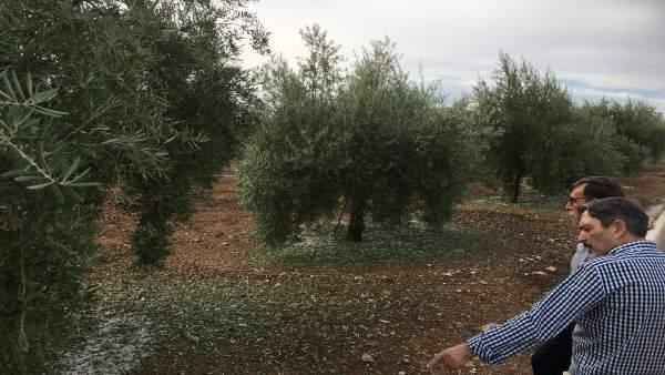 Una granizada causa daños en las cosechas de olivos en Alcaudete (Jaén)