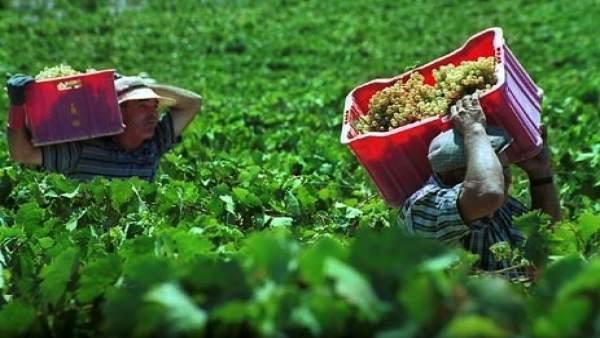 Temporeros Trabajando En La Vendimia Temprana En El Condado De Huelva.