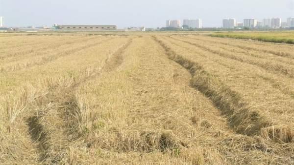 Imagen de archivo de paja de arroz